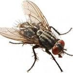 Hướng dẫn cách phun hoạc đặt bả diệt ruồi hiệu quả